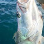宮崎の県魚危うし!遠州灘でオオニベの釣果情報が多発!