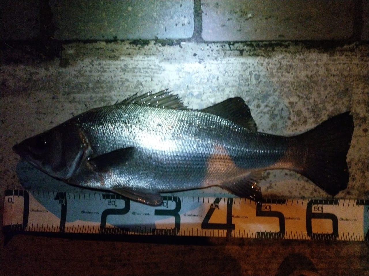 【宮崎県民シーバスビギナー向け】どうやら宮崎シーバスは1年中釣れる模様