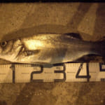 シーバスの魚影が薄い宮崎。しかしヒラスズキは釣れやすい。大淀川でゲット(2018/8/13)